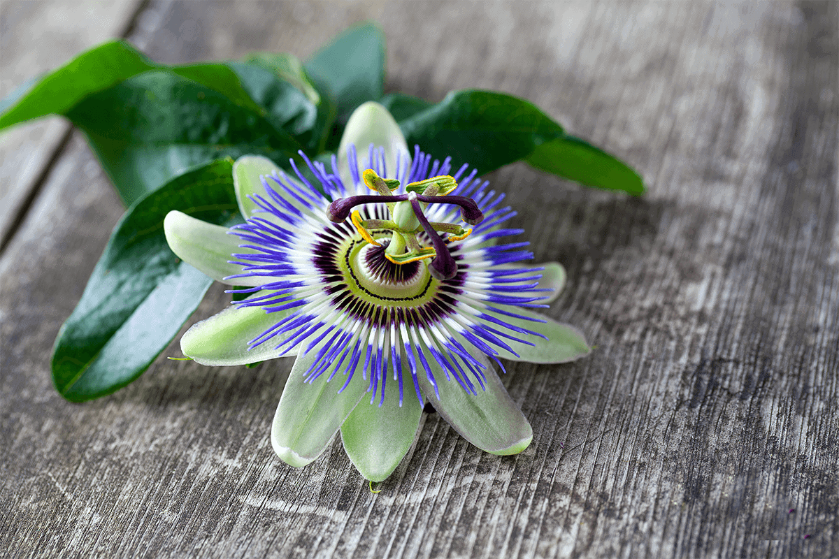 purple and red passion flower placed on grey wooden table