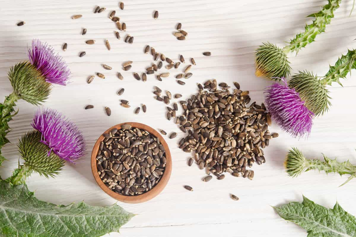 Milk Thistle plant with its seeds spread out