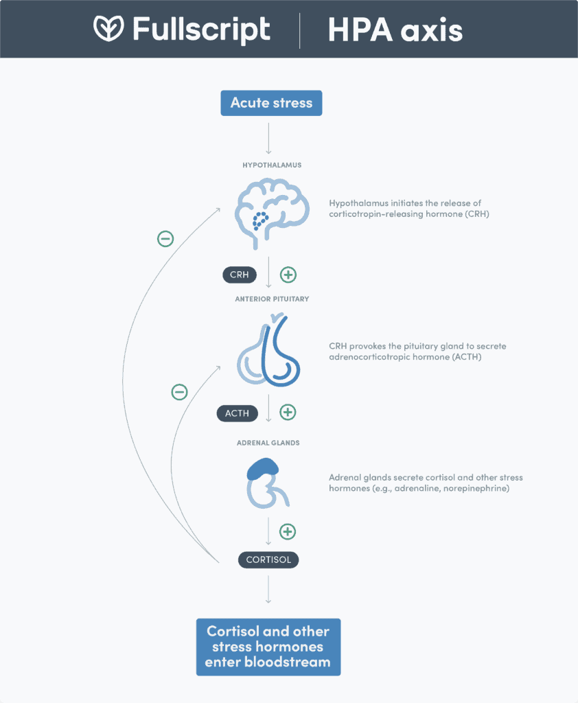 HPA Axis infographic