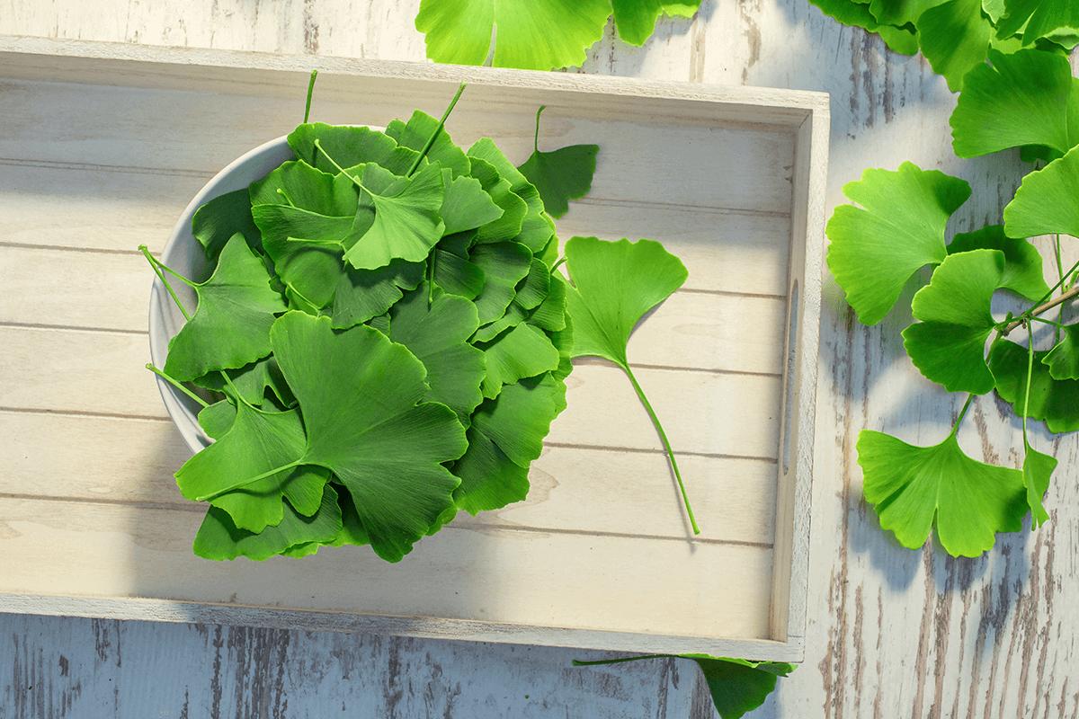 Ginkgo biloba in plant form