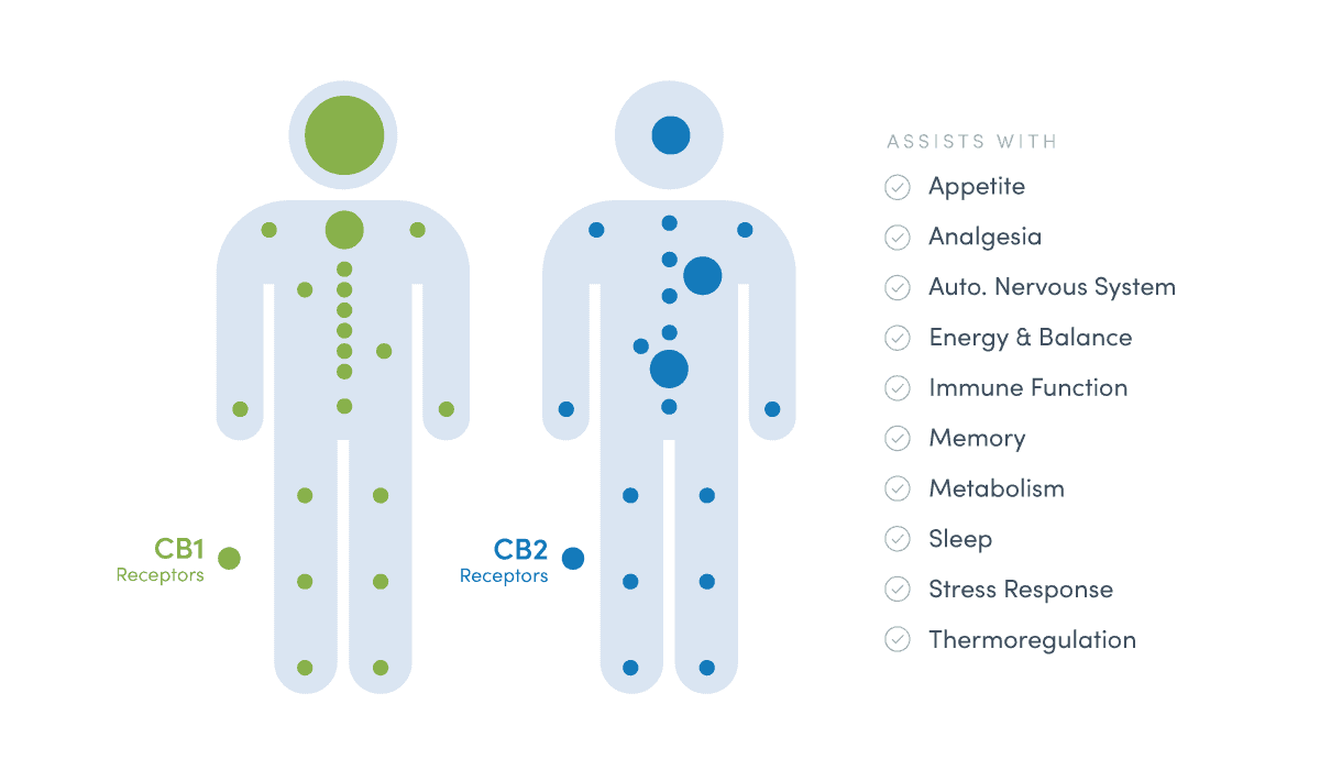 Infographic of CBD and CB2 receptors throughout the body