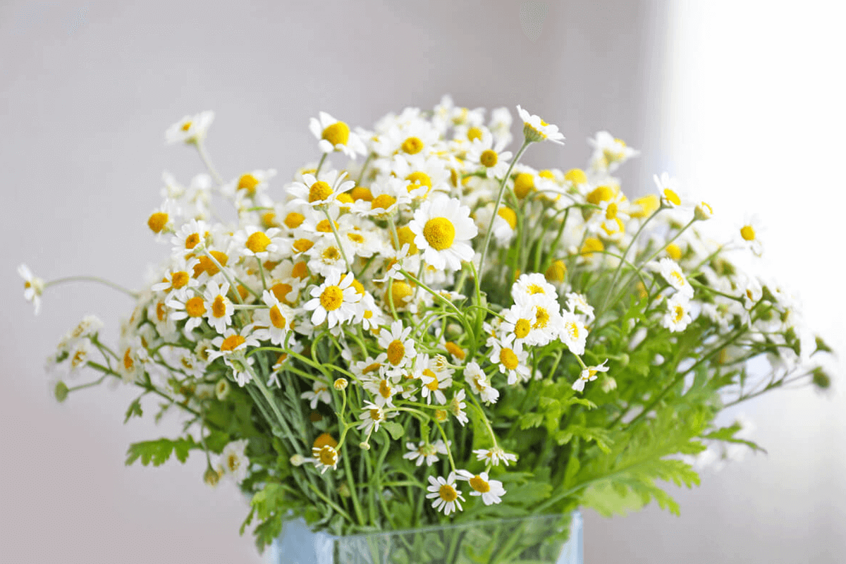 Chamomile flowers in a water vase