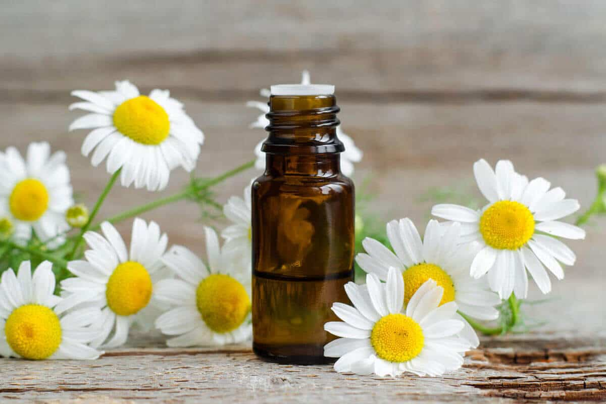 Chamomile flowers next to Chamomile essential oil bottle