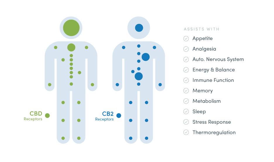 Endocannabinoid infographic