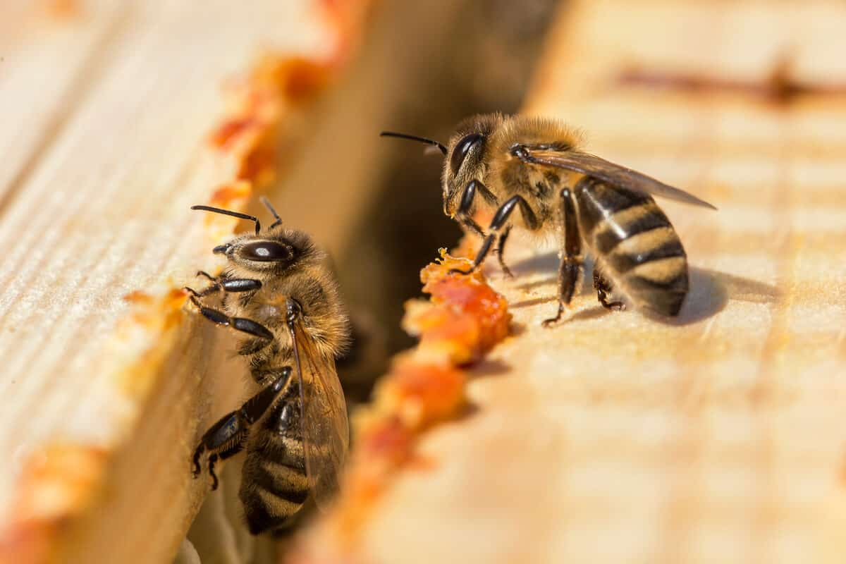 Two honey bees and propolis