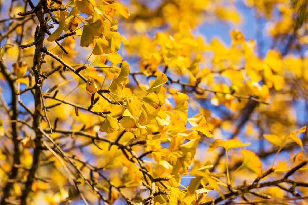 maidenhair tree branches