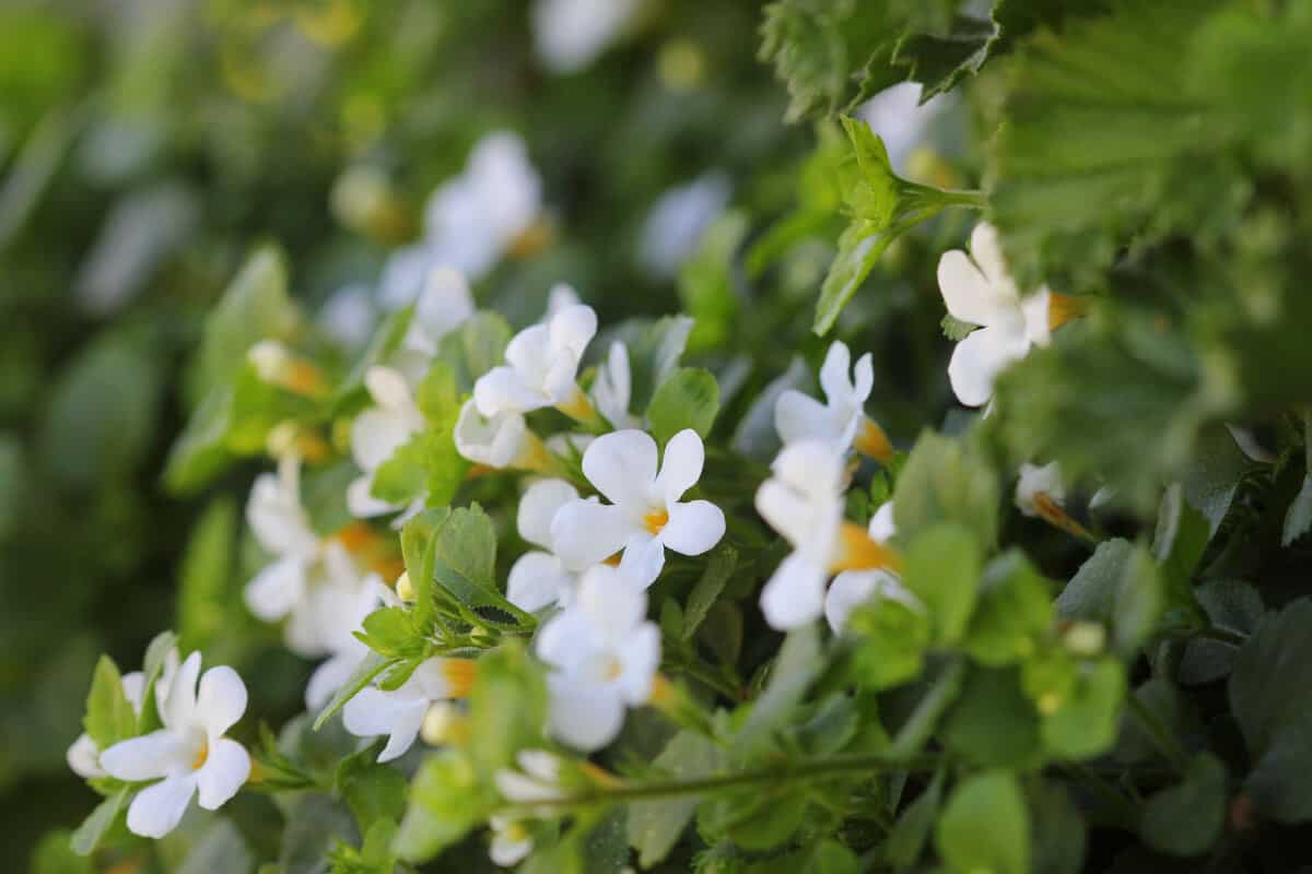 B. monnieri, also known commonly as brahmi